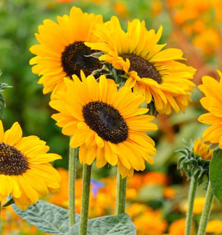 Flower Power: Sunflower Kits
